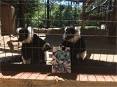 Lemurs with painting